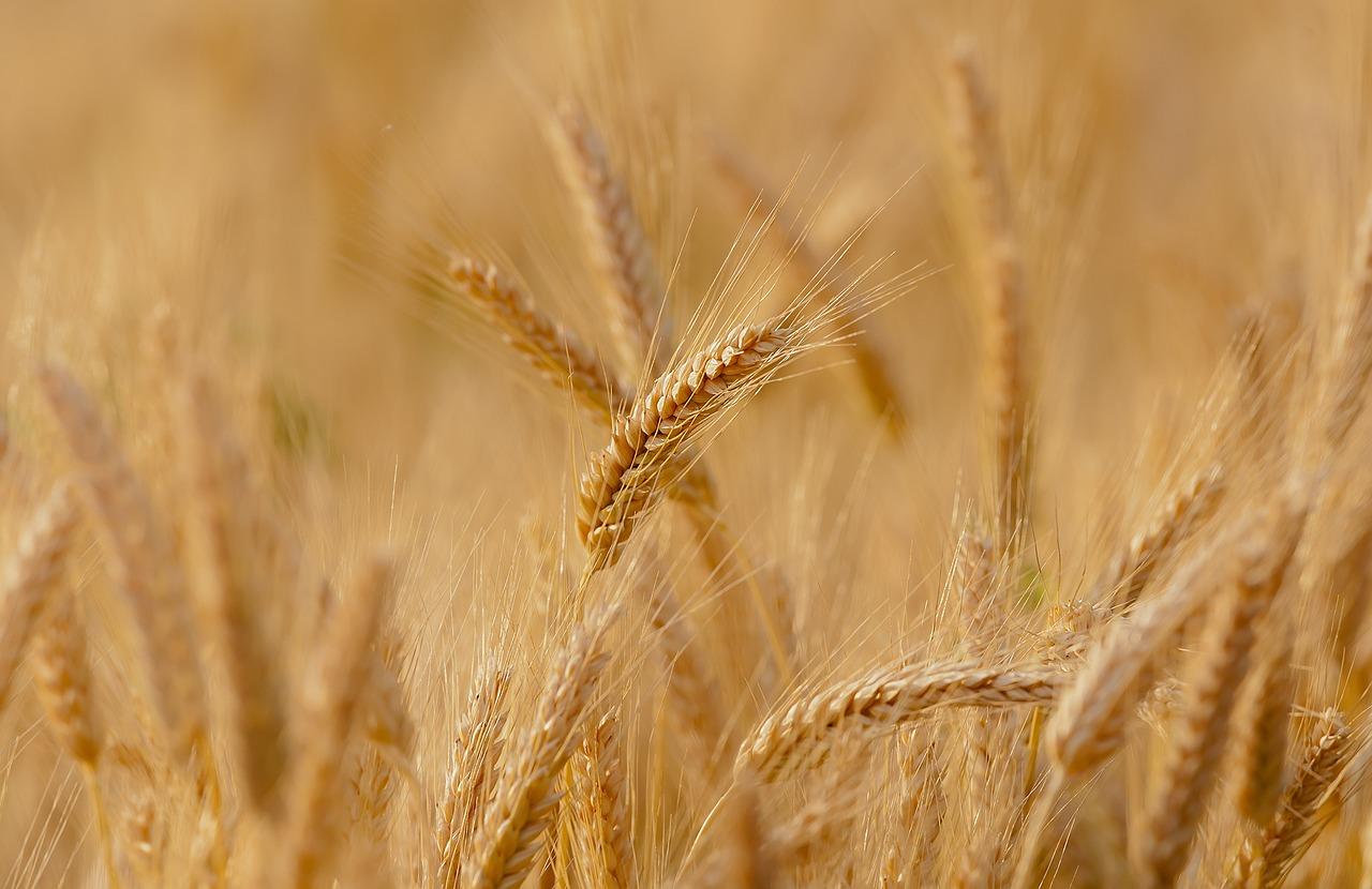 wheat, field, spring
